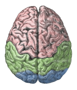 """""""Cerebral lobes"""" by derivative work of this - Gutenberg Encyclopedia. Licensed under CC BY-SA 3.0 via Wikimedia Commons - http://commons.wikimedia.org/wiki/File:Cerebral_lobes.png#mediaviewer/File:Cerebral_lobes.png"""